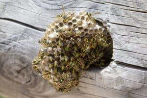 Wespenbestrijding veiligheid voor alles!